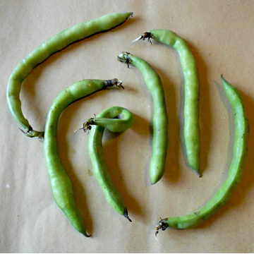 bl fava  Fava Beans, Vicia faba or Broad Beans